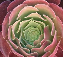 Succulent (4218) by ScenerybyDesign
