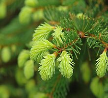 Pine Tree Sprouts by art2plunder