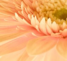 Gerbera Magic by Prasad