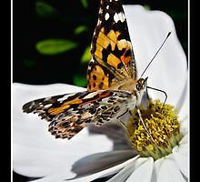 Red Admiral 2 by Colin Shanley