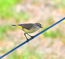 Bird on a Wire by Jackie  Smith