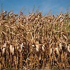 Corn stalks by Jaime Pharr