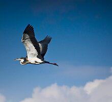 Black Headed Heron in Flight by RatManDude