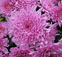 Pink Chrysanthemums by rasim1