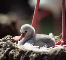 Flamingo Chick in Nest by Kristin Nichole Hamm