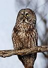 Great Grey Owl by Jim Cumming