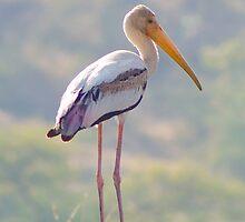Painted Stork by Prasad