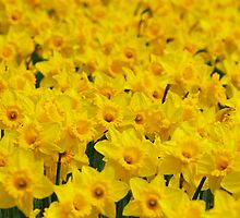 Golden Daffodils by roumen