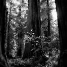 California Redwoods by Jeffrey  Sinnock