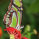 Green Butterfly on Red Lantana by Laurel Talabere