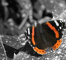 The Red Admiral by Anina Arnott