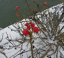 Rosehips beside the Sea by MaryinMaine