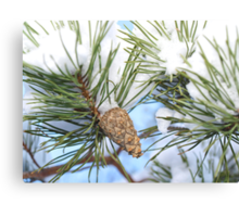Pine cone in tree with snow Canvas Print