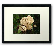 White Withered Roses Framed Print