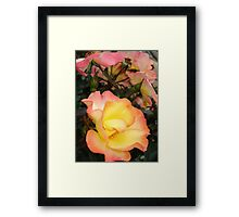 Rose, yellow and pink Framed Print