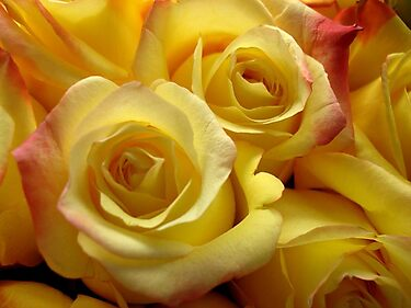 Blushing yellow roses by May Lattanzio