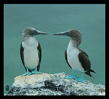 A pair of Bobbies - Galapagoes Islands by Picasojo