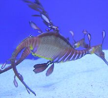 Weedy sea dragon by Christine Oakley