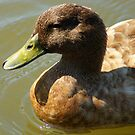 Little Brown Duck......swimming on the water.. by Ruth Lambert