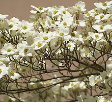 Dogwood Blossoms & Spring! by Ruth Lambert