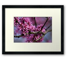 REDBUD tree in glorious Spring color!!  Framed Print
