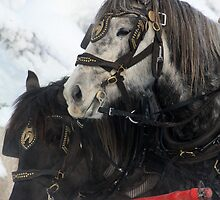 Sleigh Horses by Alyce Taylor