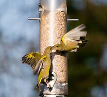 Greenfinch Fight by Nigel Bangert