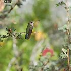 A Costas Hummingbird at the Senora Desert Museum by Robert deJonge