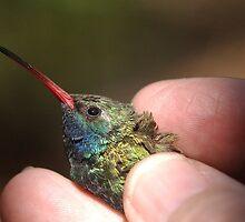 Broad-billed Hummingbird at Madera Canyon by Robert deJonge