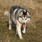 Siberian Huskies by Jan Szymczuk