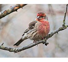 Winter Finch Photographic Print