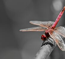Sympetrum Fonscolombii by William Attard McCarthy