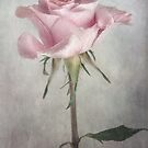 Rose by Mandy Disher