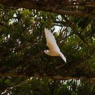 White Tern, Lord Howe Island by Bill  Russo