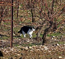 Gaston in the Vineyards by Fran0723
