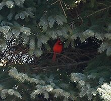 Cardinal Trying to Hide in a Tree by Corkle