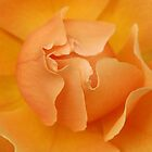 Rose Glow by photosbytony