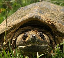 SNAPPING TURTLE by Michael Miotke