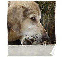 jake, an old dog Poster