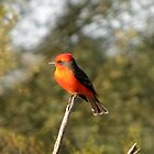 Vermilion Flycatcher by Kimberly P-Chadwick