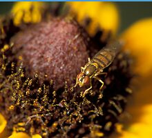 Fly on Black-eyed Susan by Bill Spengler