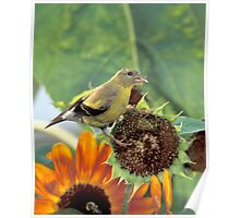 Gold Finch on a Sunflower Poster