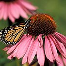 Monarch on Echinacea by Bill Spengler
