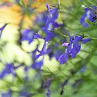 Lobelia blue by Looking-Glass