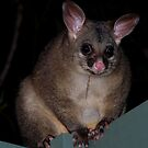 Brushtail Possum by KeepsakesPhotography Michael Rowley