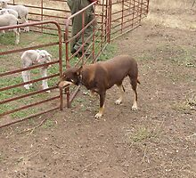 On 'Hold!', Meg the working dog. Red Kelpie. 'Arilka' Mount Pleasant. S.A. by Rita Blom