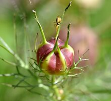Nigella seed pod and spider  by Edge-of-dreams