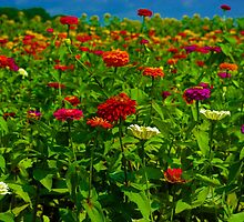 Zinnia Field by Karen Checca