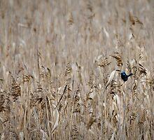 Wren in the Grass - Tamar River, Tasmania by Liam Byrne