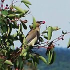 Cedar Waxwing w/ Berry by quiltmaker